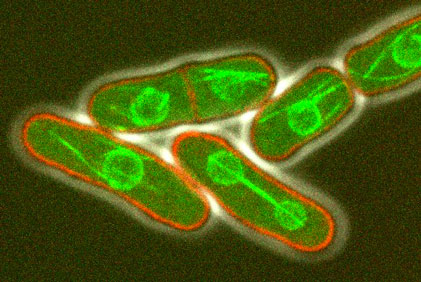 Growing and dividing fission yeast cells 3