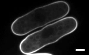 Fission yeast cells Expressing the PS marker LactC2